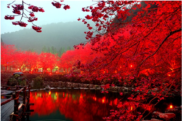 Japan-in-Cherry-Blossom