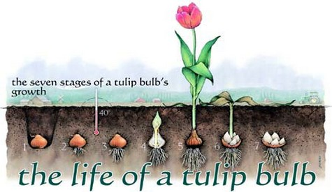 tulip-life-cycle